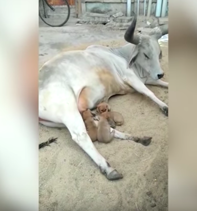 cow adopted puppies