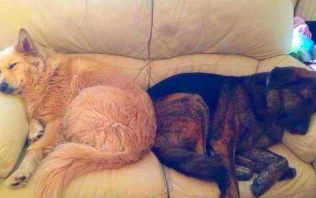 dog sleeps on his brother's pillow
