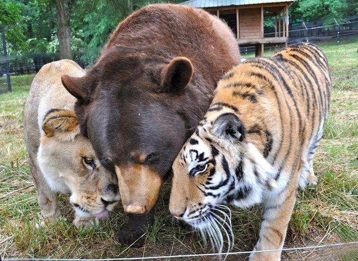 Bear Cats